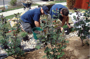 Firefighter Jeremy Osgood and Firefighter/Paramedic Corey Carter work on planting a flower bed that includes Firefighter Red roses.